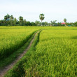 The path on green rice field and palm trees — Stock Photo