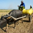 Buffalo cart transport paddy in rice sack — Stock Photo