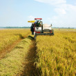 Harvesting ripe rice on paddy field — Stock Photo
