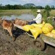Transportion paddy in rice sack by buffalo cart — Stock Photo #35816863