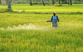Farmer spray chemicals on rice field at sunset — Stock Photo