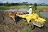 Transportion paddy in rice sack by buffalo cart — Stock Photo
