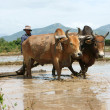 Farmer with two buffalo on rice field — Stock Photo