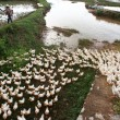 Stock Photo: Herd of duck running on farm