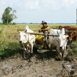 Buffalo cart transport rice that just harvest — Stock Photo