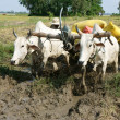 Buffalo cart transport paddy just harvest — Stock Photo