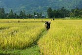 Farmer working on the reap paddy field — Stock Photo
