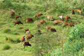 People herd a flock of oxen (cows) on grassland — Stock Photo