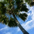 Palm tree  direct toward blue sky — Stock Photo