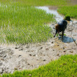 Stock Photo: Farmer sow rice on paddy field