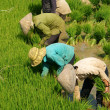 Stock Photo: Group of Vietnamese farmer sow rice