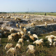 Herd of sheep grazing on meadow — Stock Photo #41115907