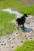 Farmer sow rice on paddy field — Stock Photo