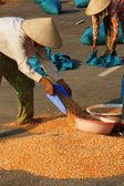 People dry corn of good crop — Stock Photo