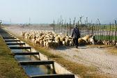 People graze herd of sheep — Foto de Stock