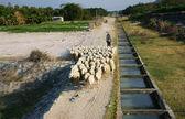 People graze herd of sheep — Stockfoto