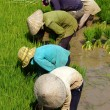 Stock Photo: Vietnamese farmer transplant rice seeding