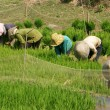 Stock Photo: Vietnamese farmer sow rice on paddy field