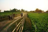 Très belle scène avec chemin d'accès, barrière en bois, champ de légume vert — Photo