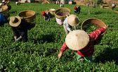 Tea picker pick tea leaf on agricultural plantation — Stock Photo