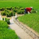 Vietnamese farmer working on rice field — Stock Photo #46317507