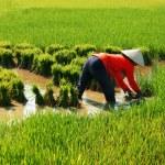 Vietnamese farmer work on rice  field — Stock Photo #46317703