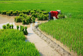 Vietnamese farmer working on rice  field  — Stock Photo