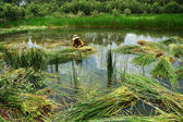 People soak in water, harvest sedge — Foto de Stock