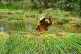 People soak in water, harvest sedge — Stok fotoğraf