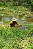 People soak in water, harvest sedge — Stock fotografie