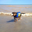Every Beach should have an area where dogs can swim.  My dog Marcus loves the water as you can see.  Its too bad so many beaches are no longer allowing owners to even walk their dog on the beach. — Foto de Stock
