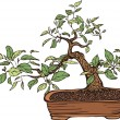 Traditional bonsai tree in a pot, hand drawn vector illustration, multicolored, isolated over white background — Stock Vector
