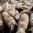 Sheep farm — Stock Photo #51213807