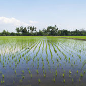 Young paddy planted in paddy field — Stock Photo
