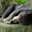Photo: Sun Bear Sleeping