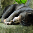 Foto Stock: Sun Bear Sleeping