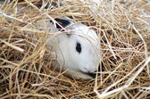 White brown rabit — Stock Photo