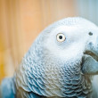 Parrot in a golden cage — Photo