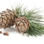 Cedar cones — Stock Photo #30678877