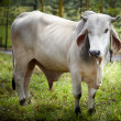 White bull — Stock Photo #40903517