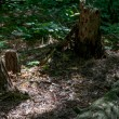 Stock Photo: Stump