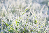 Grass in frost — Stock Photo