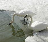 Cisnes blancos — Foto de Stock