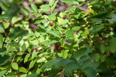 Red wildberries — Stock Photo