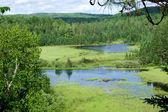 сосновый лес — Стоковое фото