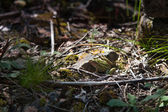 Thistle toad — Photo