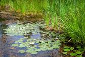 Lilie wodne — Zdjęcie stockowe