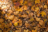Fallen leaves — Stockfoto