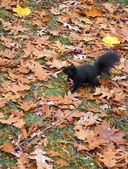 Black squirrel — Stock Photo