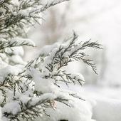 Pine stems in snow — 图库照片
